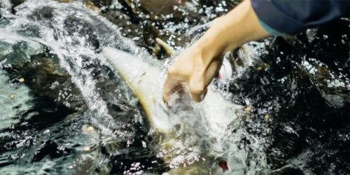 【予言】北海道「標津サーモン科学館」の『世界初!チョウザメ指パク体験』は全国区になるであろう