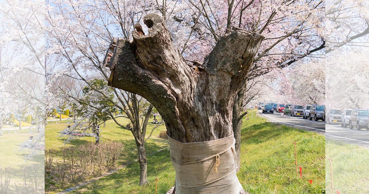 お花見シーズン到来!「ソメイヨシノ絶滅説」を桜守に聞いてきた